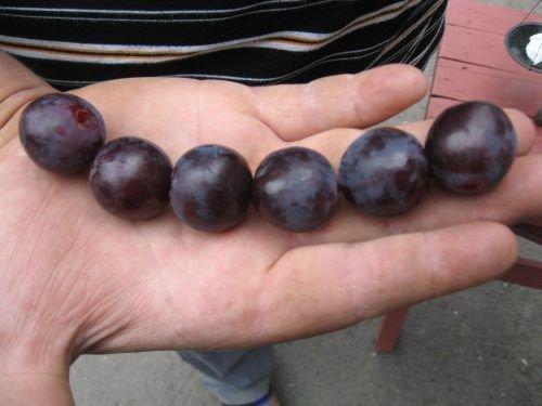 Ягоды винограда Рошфор