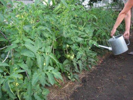 Удобрения для помидора