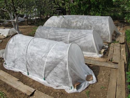 Укрытая прозрачной пленкой рассада помидор