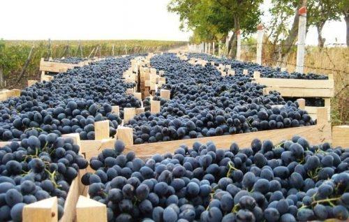 Урожай винограда Молдова