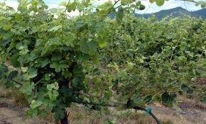 Обрываем листья у винограда, когда это делать лучше