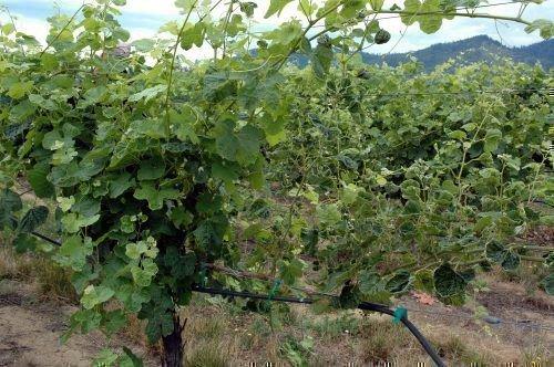 Заросший куст винограда