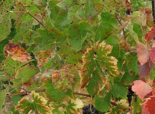 Скручивание и ссыхание виноградных листьев