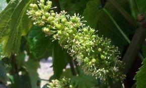 Почему происходит осыпание завязи и самих ягод у винограда