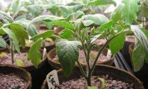 Как посадить помидоры (томаты) на рассаду правильно?