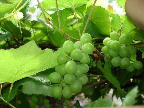 Зеленые ягоды винограда