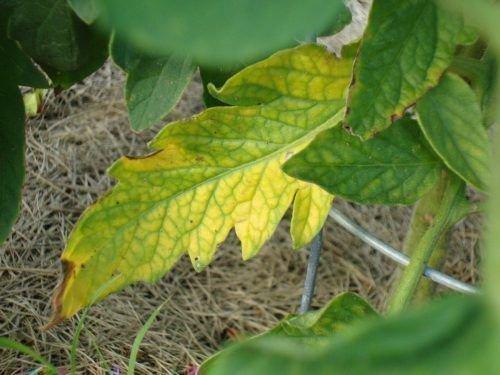 Желтые листья рассады томатов