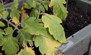 Почему на томатах образуются желтые пятна