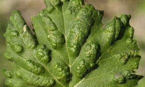 Пупырышки на виноградных листьях: в чем проблема, как избавиться, меры профилактики