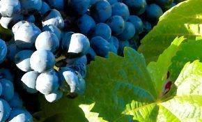 Виноградный сорт Прима, описание