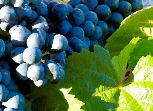 Виноград Прима
