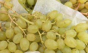 Виноградный сорт Столетие