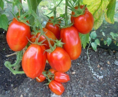 Уход за помидорами