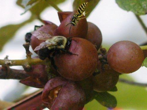 Осы и виноград