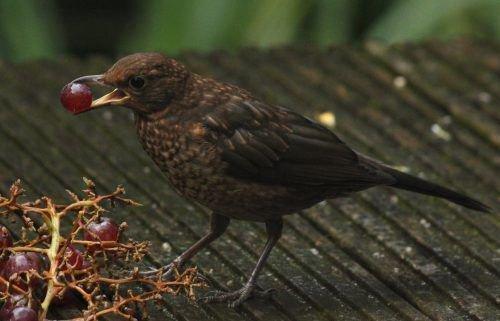 Птица и виноград