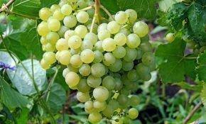 Посадим виноград вкусный, красивый, плодовитый