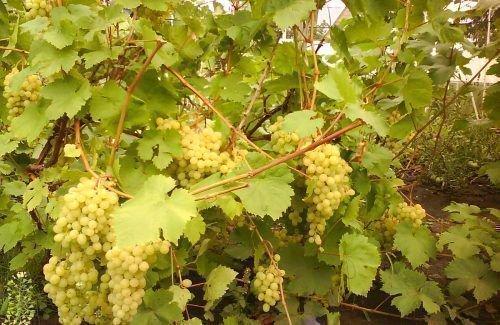Спелые грозди винограда Алешенькин
