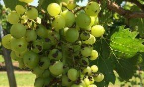 Что такое фунгициды для обработки виноградников?