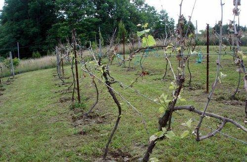 Расстояние меджу кустами винограда