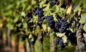 Когда появляются первые грозди на винограда