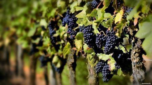 Грозди синего спелого винограда