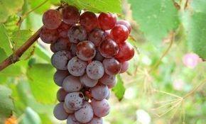 Бодрый – современный сорт винограда раннего созревания