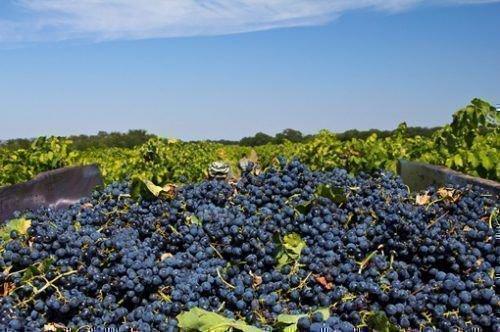 Большой урожай винограда