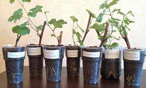 Способы укоренения черенков винограда в домашних условиях