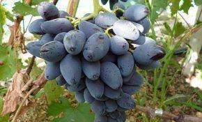 Виноград сорт черная орхидея