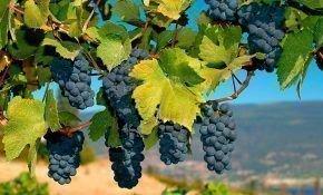 Виноград под названием Черный доктор