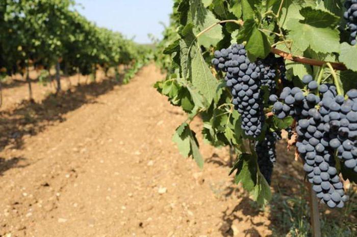 Черный доктор – лучший винный сорт винограда