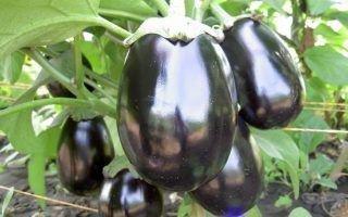Сорт баклажана Черный красавец