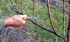 Правила формирования винограда