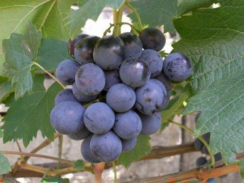 Гроздь винограда Муромец