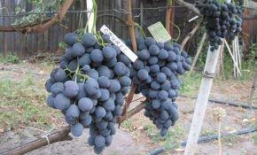 Гибридный сорт винограда Сфинкс