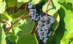 Виноградный сорт Хасанский