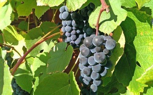 Виноградный сорт Хасанский сладкий