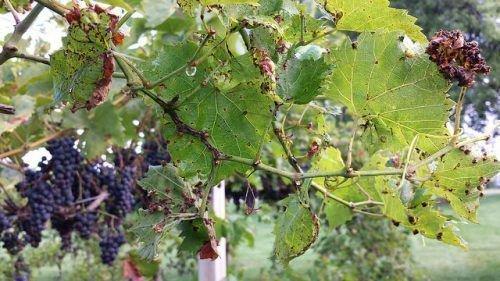 Обработка виноградных кустов