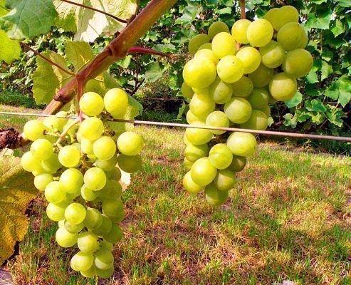 Юбилейный Новгорода - грозди