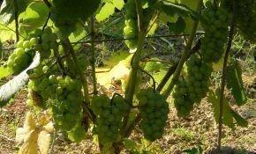 Морозостойкий виноград Юбилей Новгорода