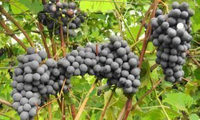 Виноград под названием каберне кортис: описание