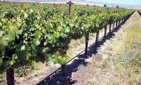 Орошения виноградников с помощью капельного полива