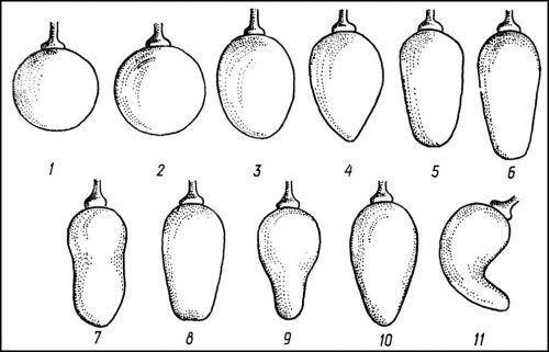 Классификация ягод винограда
