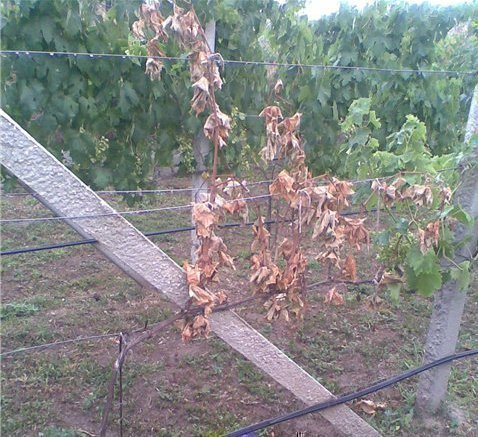 Куст винограда погиб