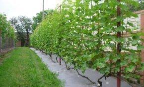 Правила посадки винограда: расстояние между кустами