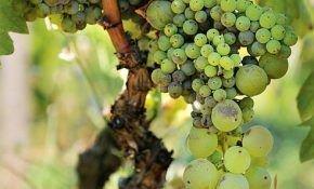 Что делать, если на винограде ягоды мелкие