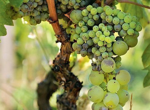 Мелкие ягоды на винограде