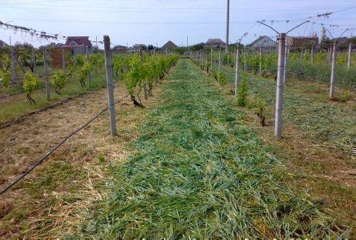 Мульча для винограда