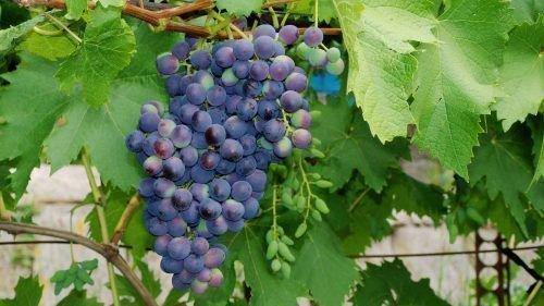 Сорт винограда Муромец