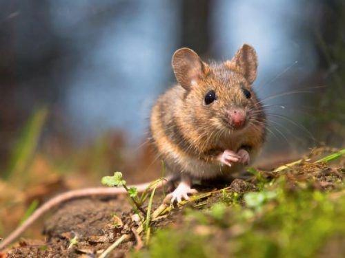 Мышь в винограднике